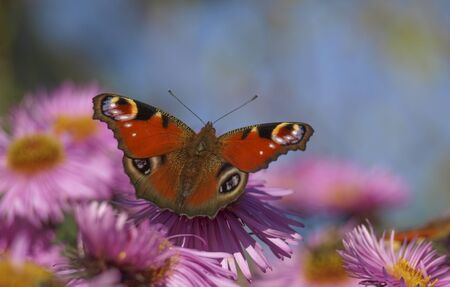 Peacock butterly aglais io on pink asters Foto de archivo