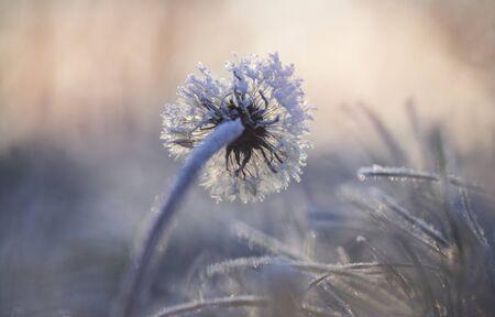 Frosty dandelion in a winter grass Standard-Bild