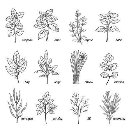 Zioła i przyprawy ustawiony. ziołami. Ręcznie rysowane dekoracyjne ziół i przypraw. przyprawy wektorowe i ilustracje ziół. Zioła i przyprawy atrament rocznika stile.