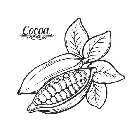 Hand drawn cocoa bean.  Vector decorative  cocoa bean in the old ink style. Cocoa icon  for brochures, banner, restaurant menu and  market