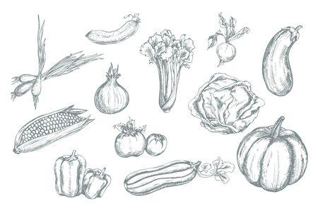 pimientos: Conjunto de vectores dibujados a mano vegetales. Ilustración del vector.