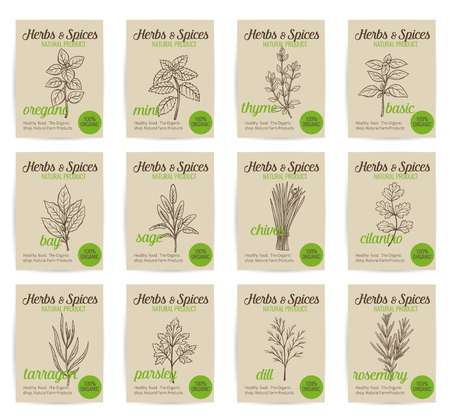 basil: Vector hand drawn culinary herbs and spices posters set. Illustration in Old ink style.