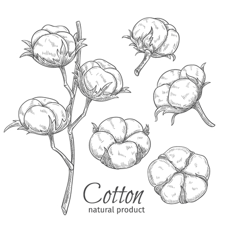 Hand drawn cotton flowers . Vector illustration in sketch style.