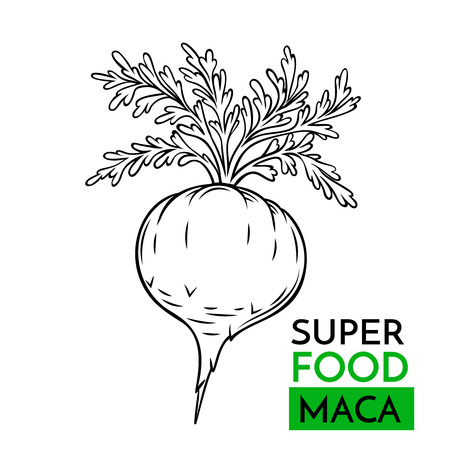 Hand drawn vector icon superfood maca. Sketch Illustration in vintage style. Design Template Healthy food.