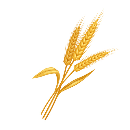 Vector rye or wheat spikelets. Illustration cereals for design of baking and bread products.