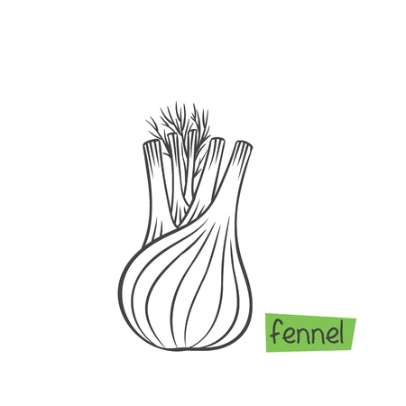 Fennel root plant. Spice herbs hand drawn vector illustration.