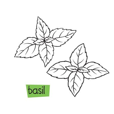 Basil hand drawn