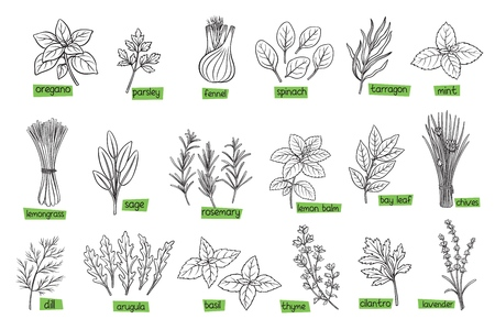 Popular culinary herbs, hand drawn vector illustration. Bay leaf, lemongrass, fennel, dill, cilantro and chives. Thyme, lemon balm, tarragon etc. Seasoning food design