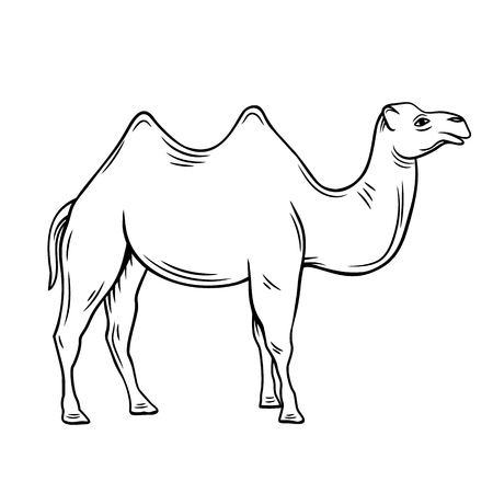 two-humped camel or bactrianus