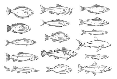 Fish outline. Engraved seafood of bream, mackerel, tunny or sterlet, catfish, codfish and halibut. Drawing tilapia, ocean perch, sardine, anchovy, sea bass or dorado. Retro style, vector illustration.