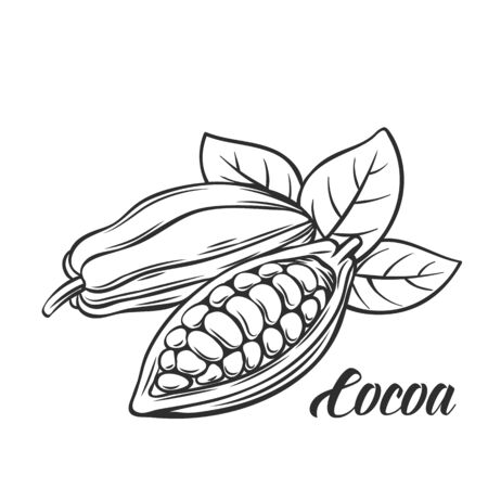 Hand drawn cocoa bean. Vector outline cocoa bean in the old ink style. Cocoa icon for brochures, banner, restaurant menu and market