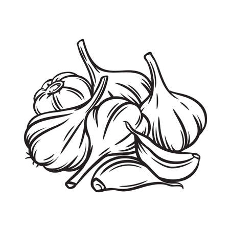 Garlic engraved vector illustration. Farm market product, isolated vegetable, outline bunch of garlic.