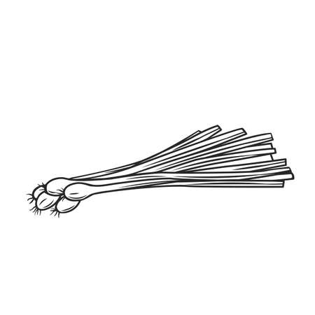 Bunch of fresh green onions. Engraved hand drawn vector illustration of sprouting onion.