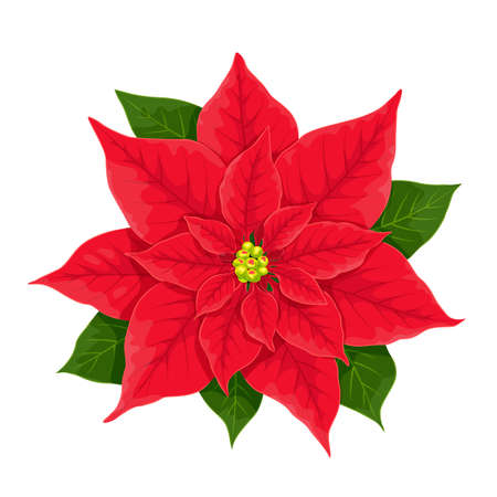 X-mas red flower of poinsettia, vector botanical realistic illustration isolated on white. Christmas elegant plant floret with leaves for colorful traditional natural decoration. Ilustración de vector