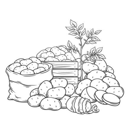 Potato tubers outline hand drawn monochrome vector illustration in retro sketch style for store ad. Engraved farm potatoes in wooden box, burlap sack, bunch. Harvested root crops isolated on white.