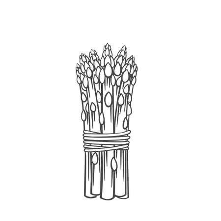 Asparagus vegetable outline icon