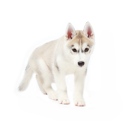 2 months: siberian husky small 2 months isolated on white background Stock Photo