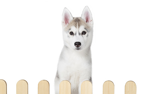 palisade: siberian husky inside palisade isolated on white background Stock Photo