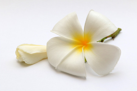 Plumeria flower beautiful close up natural aroma spa background.