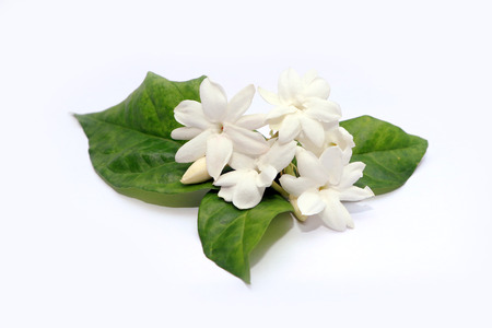 Jasmine white flowers isolated in white background Stock Photo