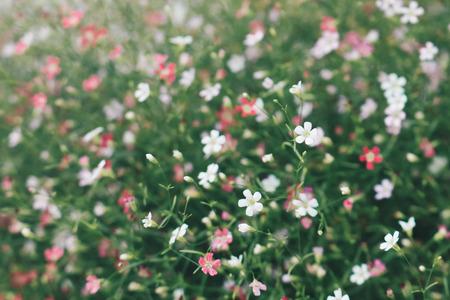 Gypsophila flower beautiful pattern vintage tone Stock Photo