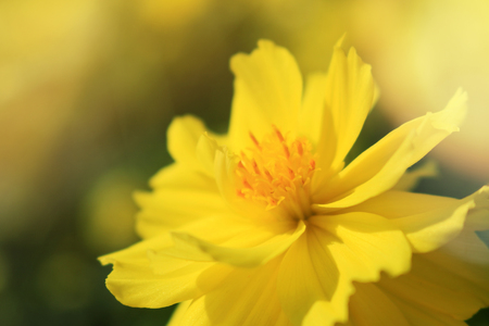 Close up starship flowers(Mexican Aster, Cosmos bipinnatus Cav.) in garden natural wallpaper. Beautiful yellow flower wallpaper. Stock Photo