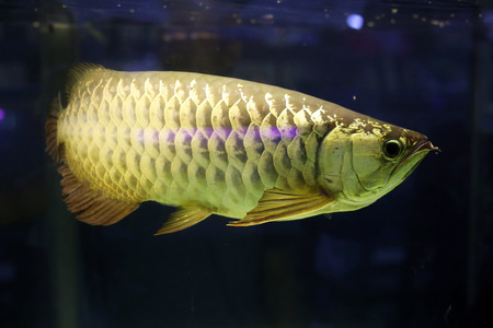Arowana beautiful and expensive fish swimming in the freshwater tank. Fish that are believed to be lucky and rich in asia. Stock Photo