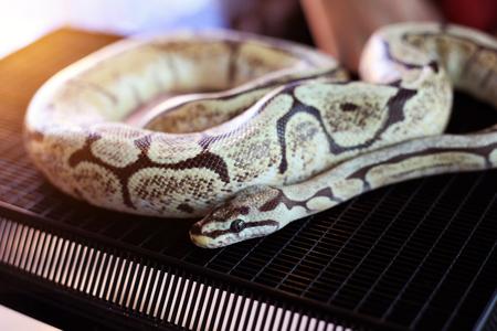 Bumble Bee Mojave Ball Python beautiful color boa snake. Stock Photo