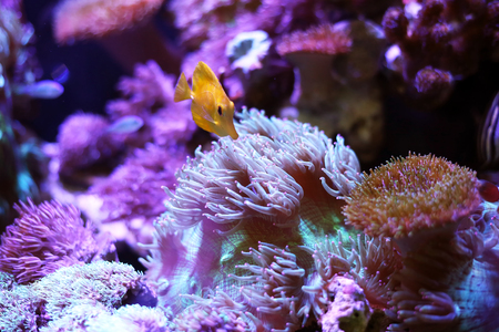 Yellow fish tank swimming in the aquarium tank. Aquatic seafish with rock mountain and sea anemones relaxation hobby and beautiful decoration in house.