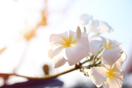White Plumeria(Frangipani) on plumeria tree with sun light flared. Frangipani tropical white flowers.