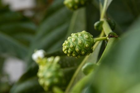 Closeup Noni (Great morinda, Beach mulberry, Morinda citrifolia L.) on tree. Noni fruit medicinal plant.