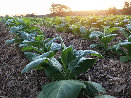 Field of common tobacco (Tobacco plants, Nicotina tabacum) agriculture plantation crop of country side farmland.