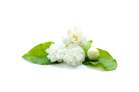 Jasmine flowers with leaves (Arabian Jasmine, Jasminum sambac) isolated in white background. Stock Photo