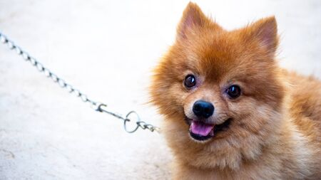 Cute dog chained alone, but smile when saw the owner Stock Photo