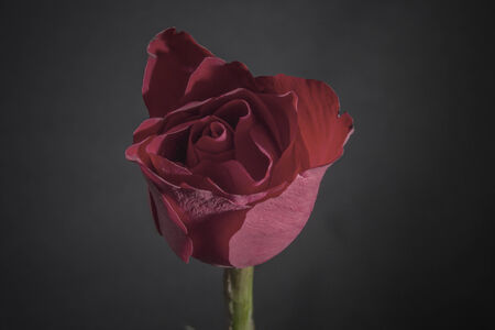 dark red rose on black background photo