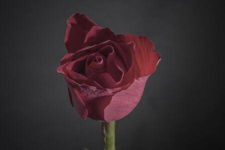 dark red rose on black background photo
