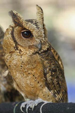 owl close-up portrait  photo