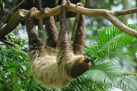 rainforest animal: amazing Sloth in the air  Stock Photo