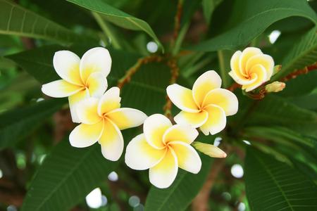 Plumeria or frangipani flower and bud