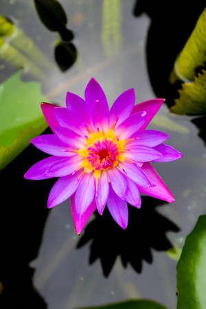 Purple lotus flower on water
