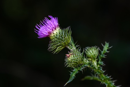 Blooming purple thistle flower in summer forest