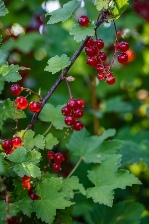 Bunches of ripe red currant hang on a branch in the garden. vertical Stock Photo