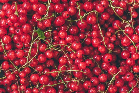 Ripe and Juicy Red Currant.