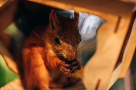 Red squirrel eats nuts in handmade feeder in city park.