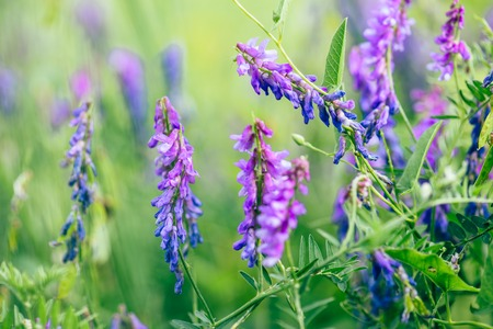 Beautiful purple boreal vetch flowers on blurred background. Selective focus. Stock Photo