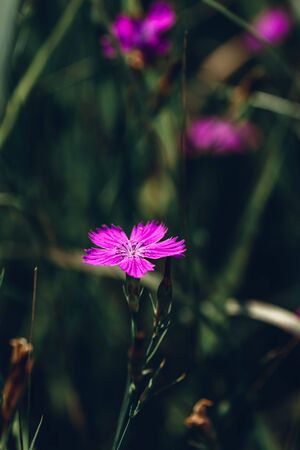 Flower of pink dianthus on the meadow