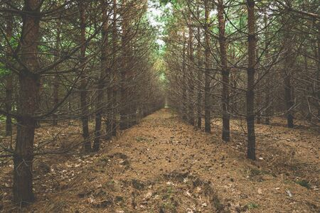 Dark pine forest with trees in a row