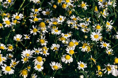 Background of wild chamomile flowers on lawn at summer day Reklamní fotografie