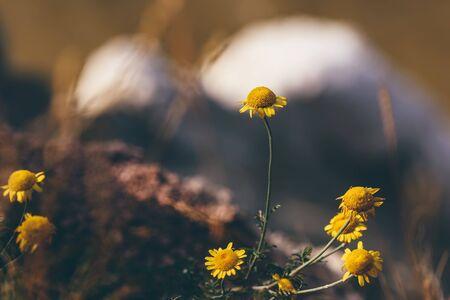 Wild yellow daisy flowers on the cliff Reklamní fotografie