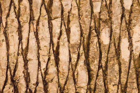 Texture of palm bark photo